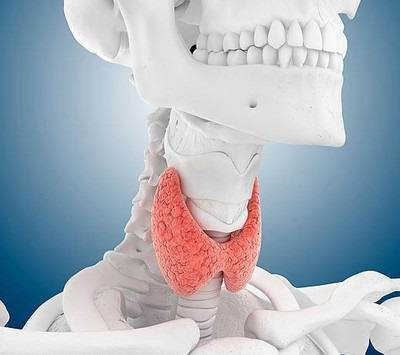 Строение щитовидной железы
