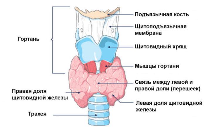 узи щитовидной железы расшифровка