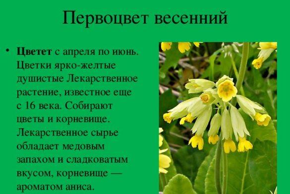 Первоцвет весенний от головной боли