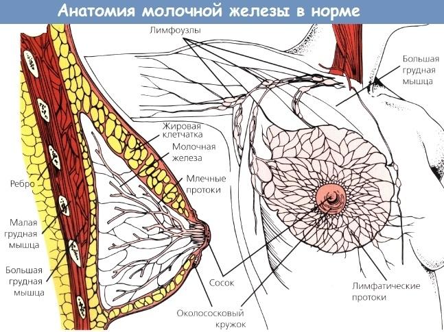 Лимфоузлы молочной железы