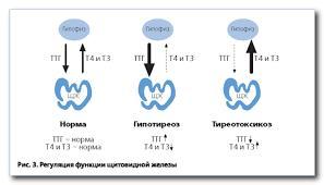 регуляция функции щитовидной железы