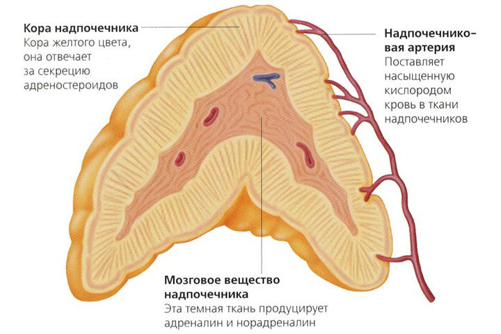 адреналин вызывает гипергликемию