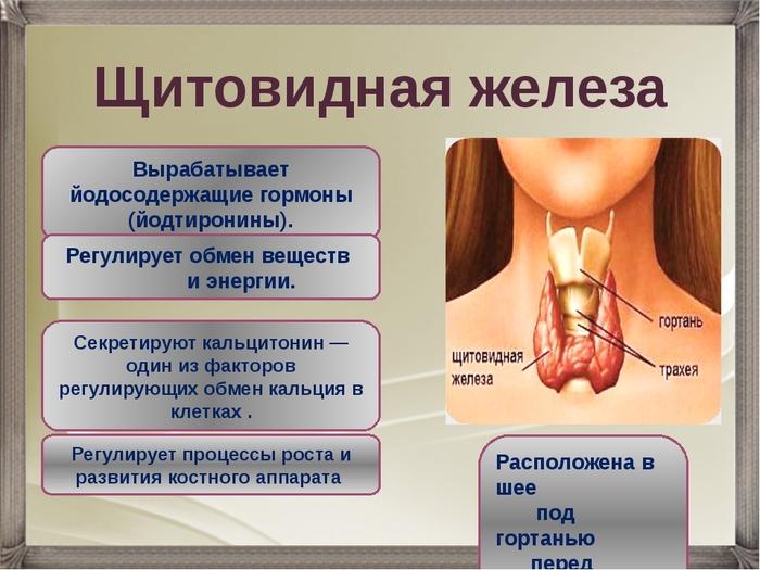 Значение щитовидной железы