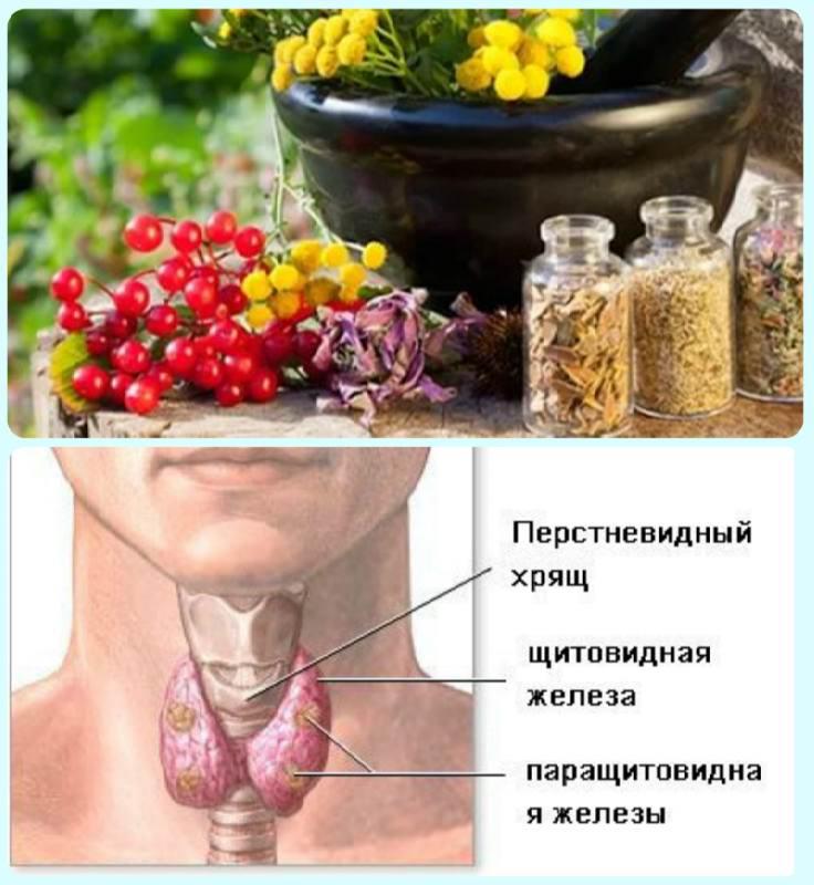 щитовидка народные средства