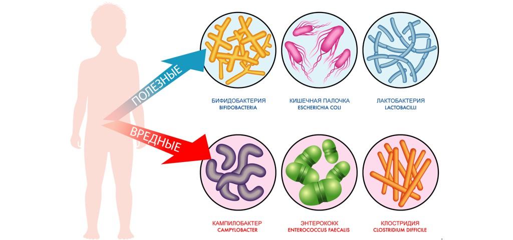 Полезные и вредные микробы в кишечнике