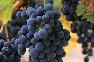 острое отравление виноградом
