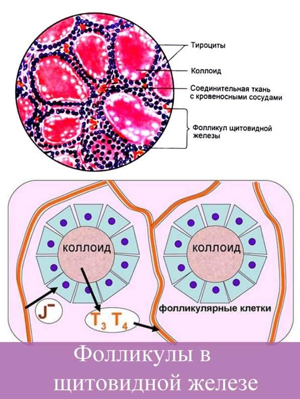 Фолликулы в щитовидной железе