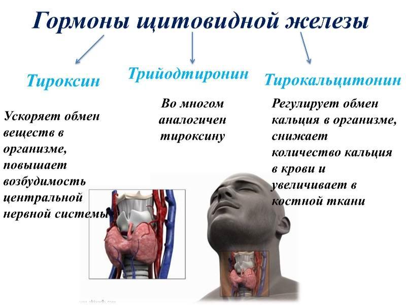 Что вырабатывает щитовидная железа
