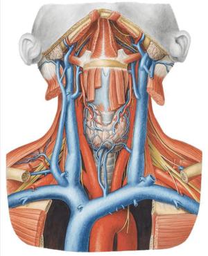 кровоснабжение щитовидной железы