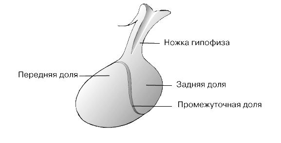гормоны средней доли гипофиза