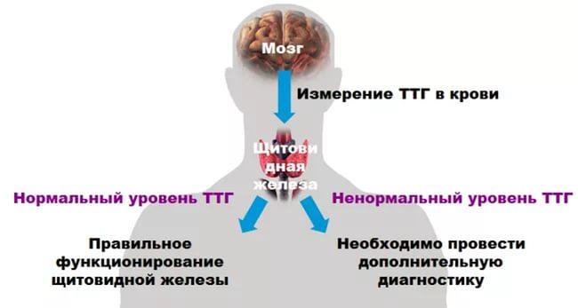 уровень ттг при гипотиреозе